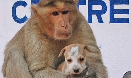 Un mono adoptó a un perro callejero, mira las imágenes de esta gran historia