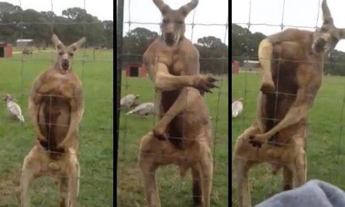 Un hombre se peleó con un canguro para salvar a su perro